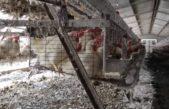 """Una ONG vegana protestará en la Pirámide de Mayo contra """"el uso de gallinas para la producción de huevos"""""""