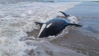 Intentan rescatar a las 7 orcas varadas en las playas deMar Chiquita