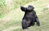 Murió el Chimpancé Judy del ex Zoo de La Plata
