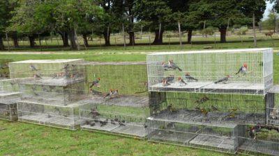 Jilgueros, cardenales, corbatitas y zorzales: el ECAS liberó 600 aves silvestres rescatadas del mascotismo