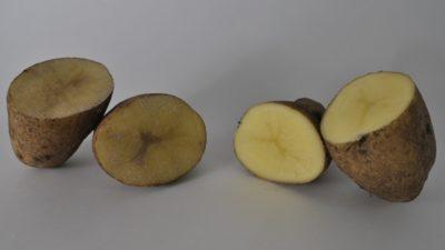 El INTA Balcarce siembra papas modificadas genéticamente que no se oxidan