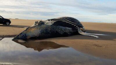 Pescadores hallaron una ballena muerta de unos 30 mil kilos en las playas de Marisol