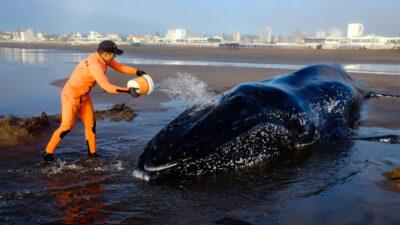 """Advierten que """"son cada vez más frecuentes"""" los varamientos de cetáceos en la costa bonaerense"""