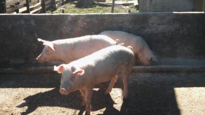 """Especialistas del INTA darán una charla online sobre manejo de una """"granja porcina familiar"""""""