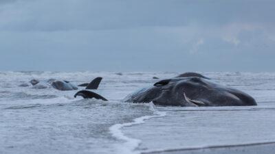 Greenpeace denuncia que hay menos ballenas en el Mar Argentino, por la exploración sísmica de petróleo