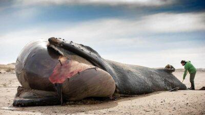 Apareció ota ballena muerta en la Costa bonaerense, ahora en Mar Chiquita: mirá las imágenes