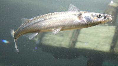 En un arroyo de Chascomús hallaron hormonas humanas que afectarían la reproducción de especies como el pejerrey