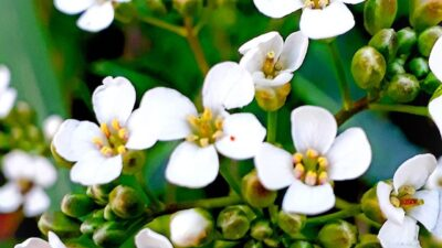 En Sierra de la Ventana encontraron una hermosa planta autóctona que se creía extinta