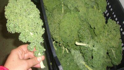 """Conocías el """"Kale"""", un súper alimento elegido por su alto valor nutricional"""