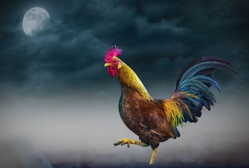 Insólito: recibió una multa de 40 mil pesos porque su gallo canta a cualquier hora y molesta a los vecinos