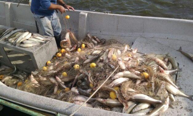 Se habilitó la pesca comercial de pejerrey en la laguna Las Tunas de Trenque Lauquen