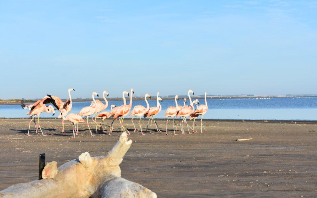 Liberaron en el Lago Epecuén a 19 flamencos rescatados del tráfico ilegal