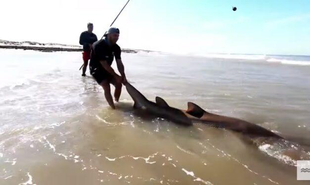 VIDEO: pescaron de costa un tiburón de más de 2 metros y lo devolvieron al mar