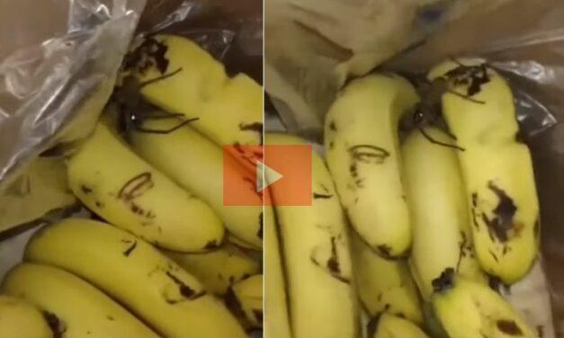 """VIDEO: aseguran que ahora apareció un peligrosa araña """"bananera"""" en Olavarría"""