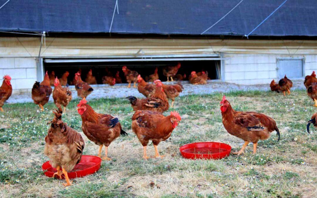 """""""Avicultura alternativa"""": darán una charla sobre producción de pollos y huevos de campo"""