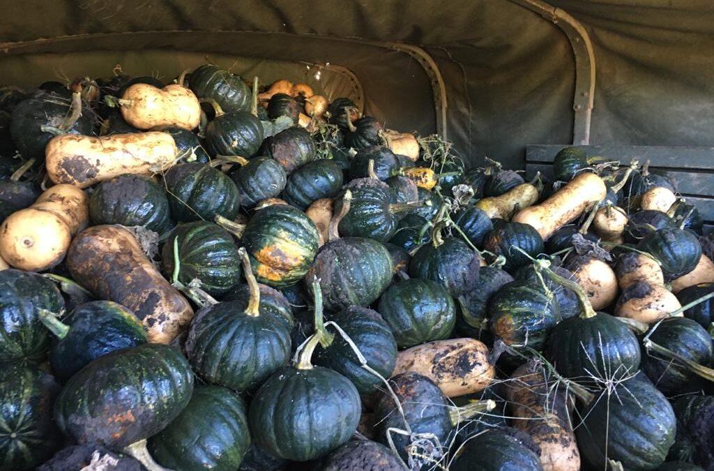 Conocé en que ciudad bonaerense cosecharon 15.000 zapallos que serán entregados a familias vulnerables