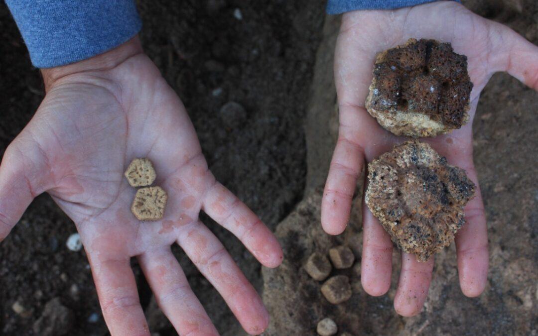 """Hallazgo paleontológico """"único"""" en Mar Chiquita: encontraron restos fósiles de un gliptodonte """"bebé"""""""
