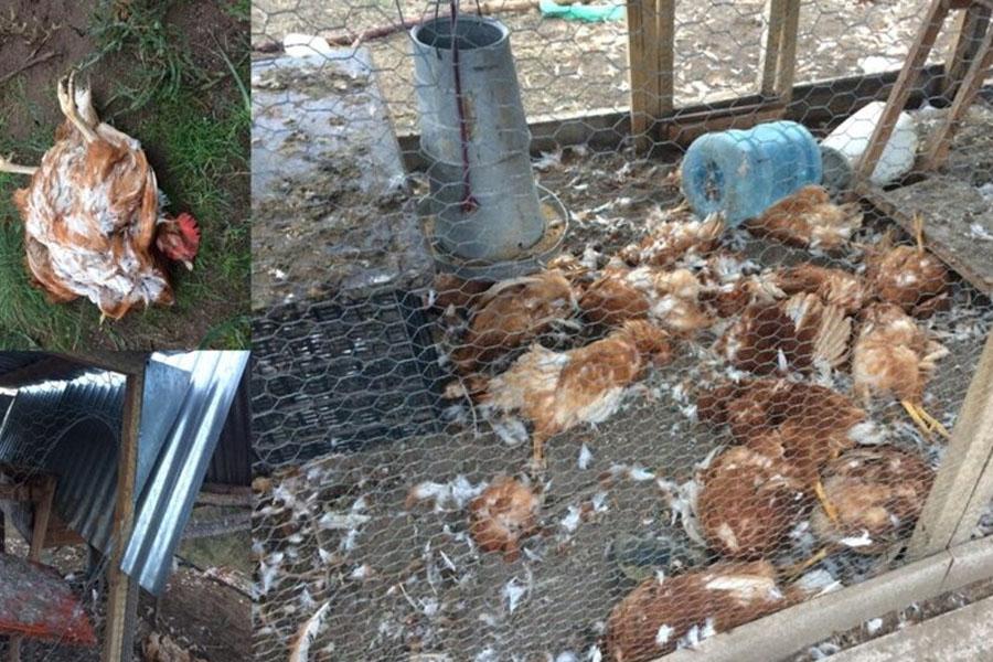 Una jauría mató sin piedad a 24 gallinas: la indignación de un vecino de Pedro Luro