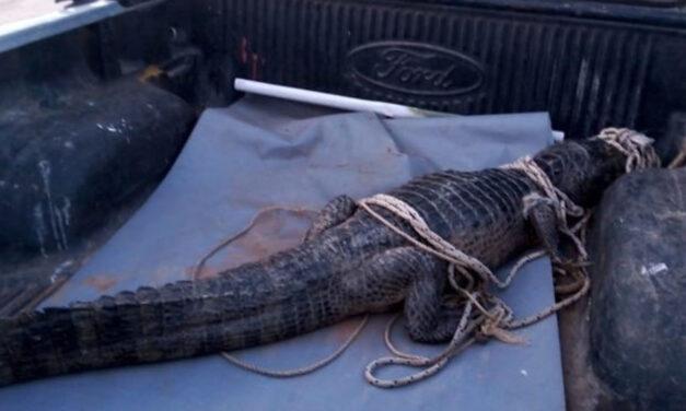 Una familia de San Pedro alertó por la aparición de un yacaré: lo curaron y lo devolvieron a su hábitat