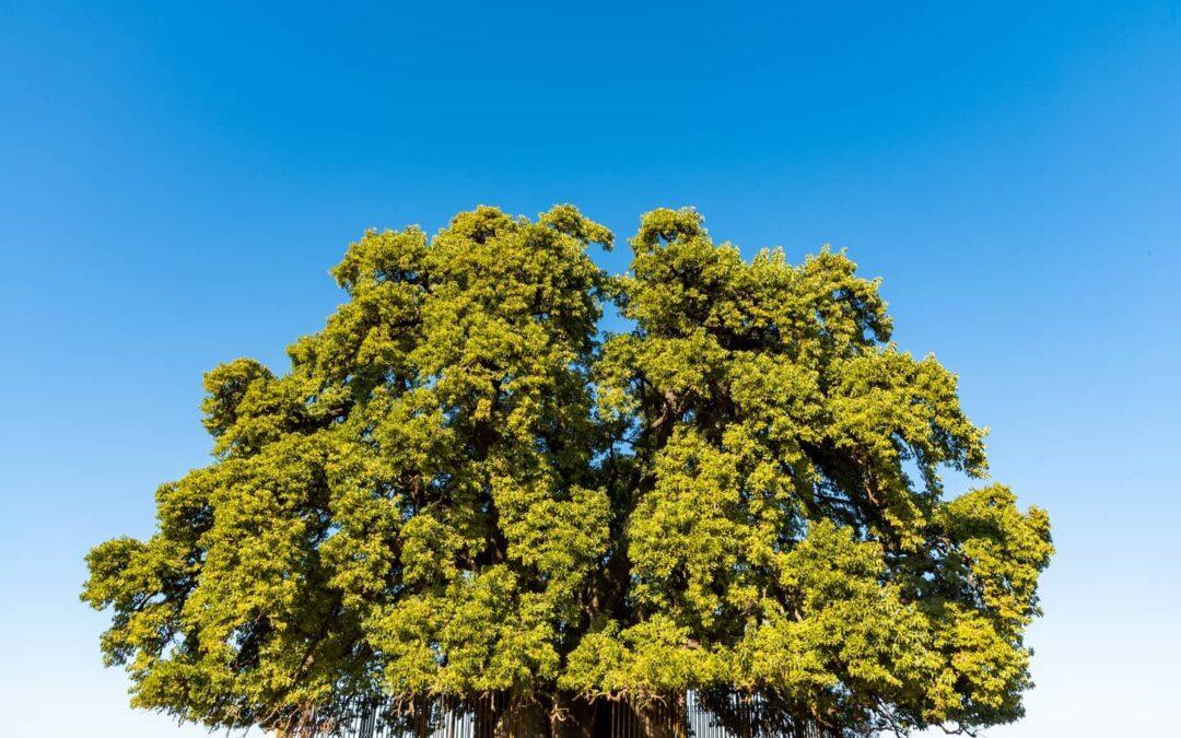 La historia del Ombú de Cullen: un monumento vegetal vivo que compartió todas las horas de la Patria