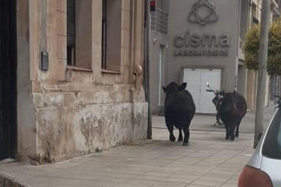 Invasión de vacas en las calles de Tres Arroyos: volcó un camión con 30 vacunos