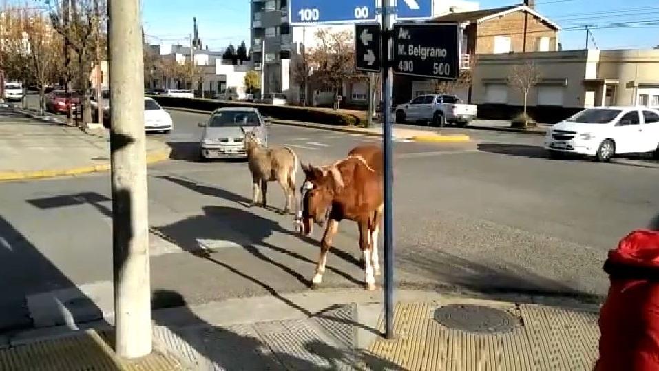 Video insólito: un burro y un caballo se pasearon por Tres Arroyos y hasta cortaron el tránsito