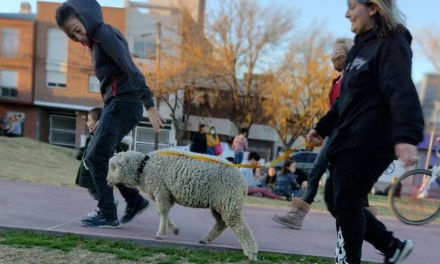 Insólito: como si fuera un perro, vecina de Bahía Blanca salió a pasear con su oveja