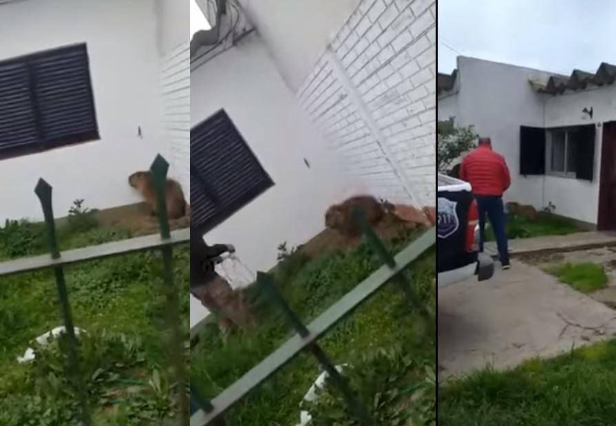 Videos: se les instaló un carpincho en su casa y tuvieron que llamar a la policía para sacarlo