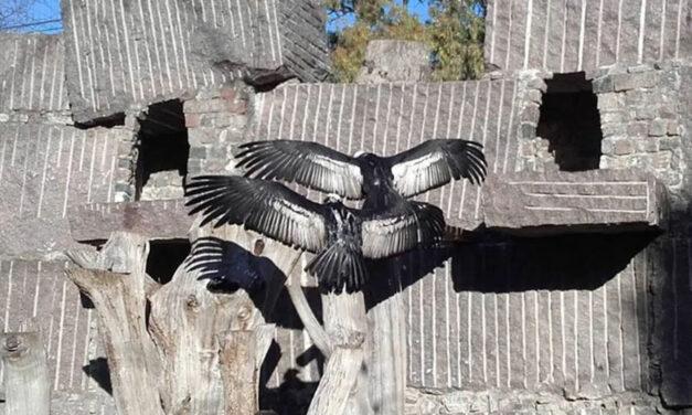 Olavarría: primera postura del año en el marco del Programa de Conservación del Cóndor Andino