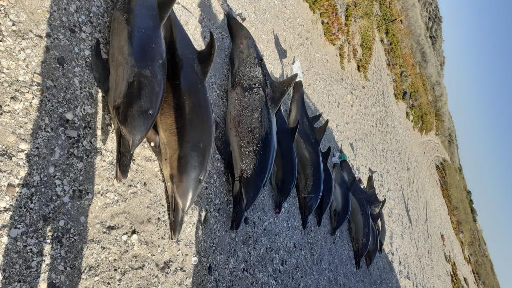 Impresionante: ataque de orcas provocó un varamiento masivo de delfines muy cerca de Las Grutas