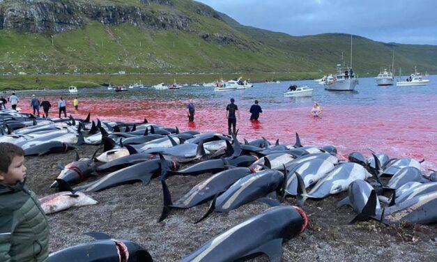 """""""Grindadráp"""": el sangriento festival en el que mataron a más de 1400 delfines """"por error"""""""