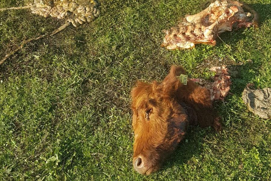Mutilaron a una vaca preñada en Berisso y sus dueños temen que sea un mensaje mafioso